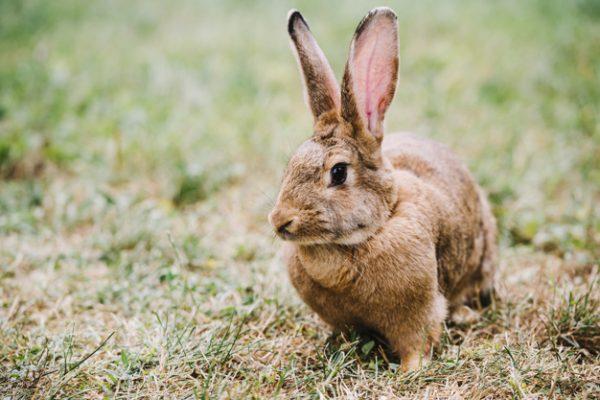 kaninfoder fra burgess